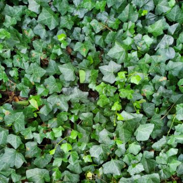image of ivy growing on ground.